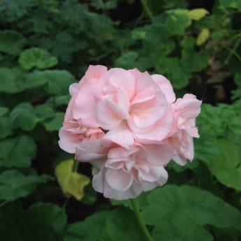 Workshop: Pelargoner – Från frö till krukväxt