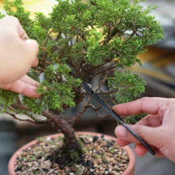 Bonsai – konsten att forma träd