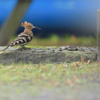 Hoopoe spotted at Royal Djurgården!